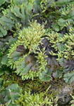 Bryophytes; Click to view plants from this group