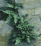Lycophytes and Pteridophytes; Click to view plants from this group